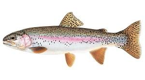 fish_trout_rainbow